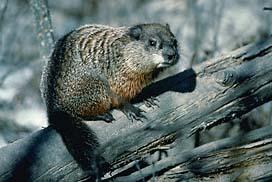 Quia  Pennsylvania Wildlife Amphibians Mammals