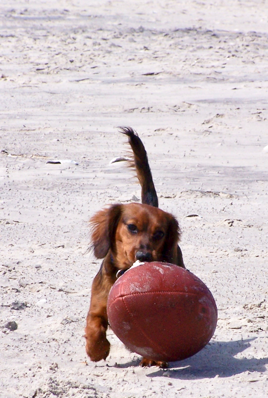 dachshund playing football