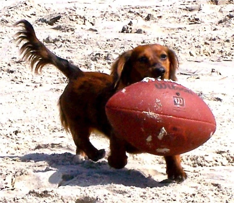 dachshund playing football on beach