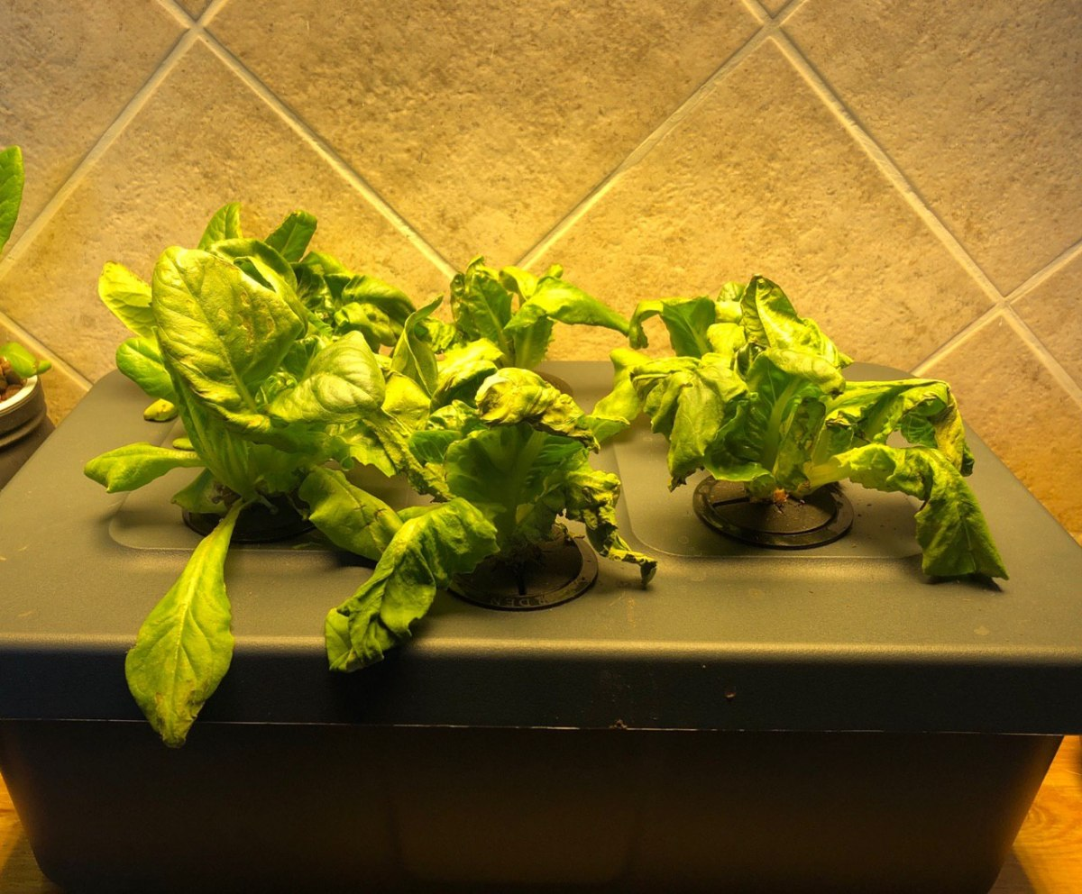 Transplanting From An Aerogarden To a Kratky Bucket