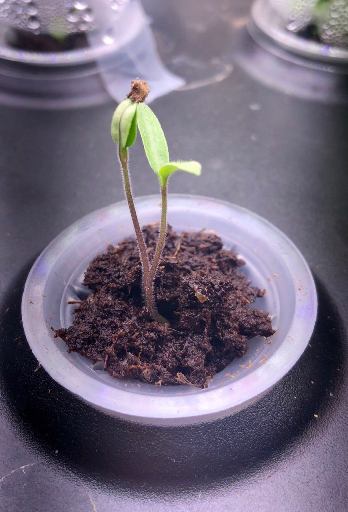Tomato Seedling Week 1