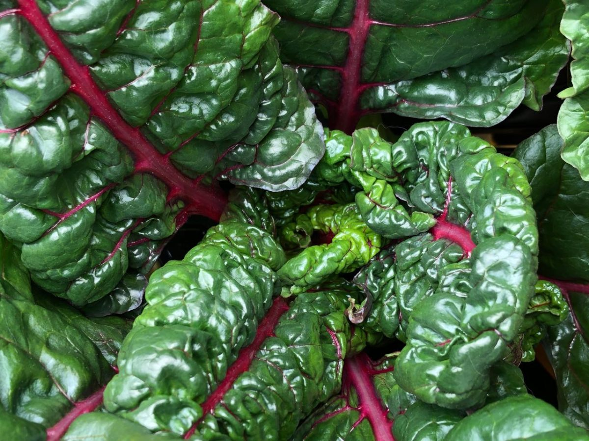 Growing Swiss Chard in Kratky Hydroponics – Update: Week 4