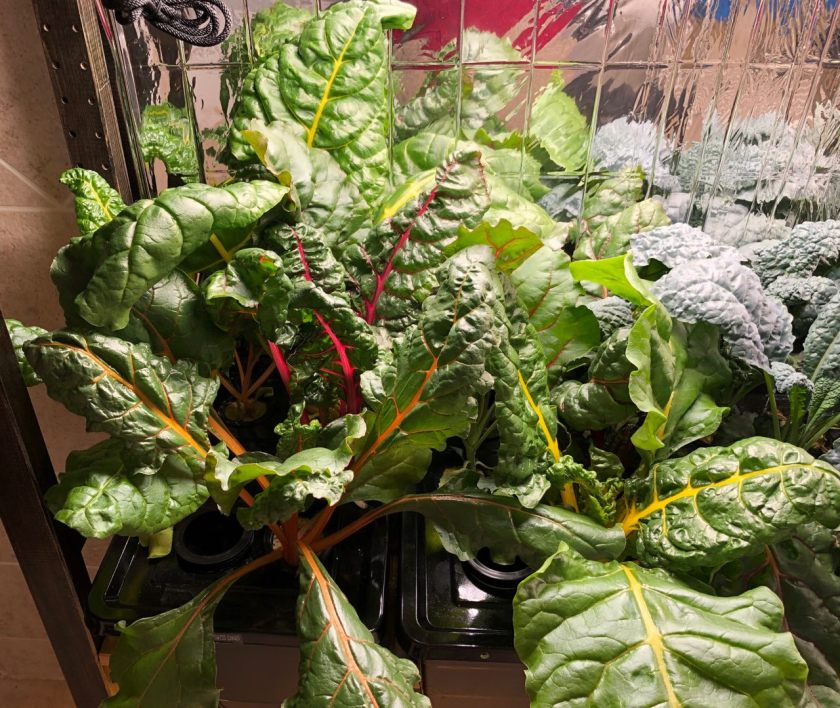 Bright Lights Swiss Chard Grown In Kratky Container, Week 4