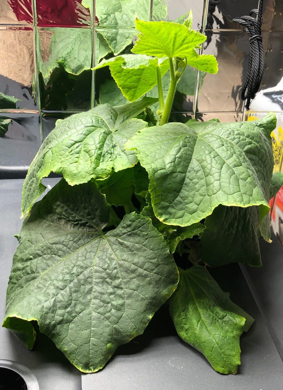 Growing Lemon Cucumbers in Kratky Hydroponics – Update: Month 1