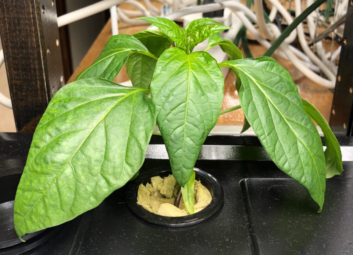 Growing Jalapeño Peppers in Kratky Hydroponics, Week 4 Growth