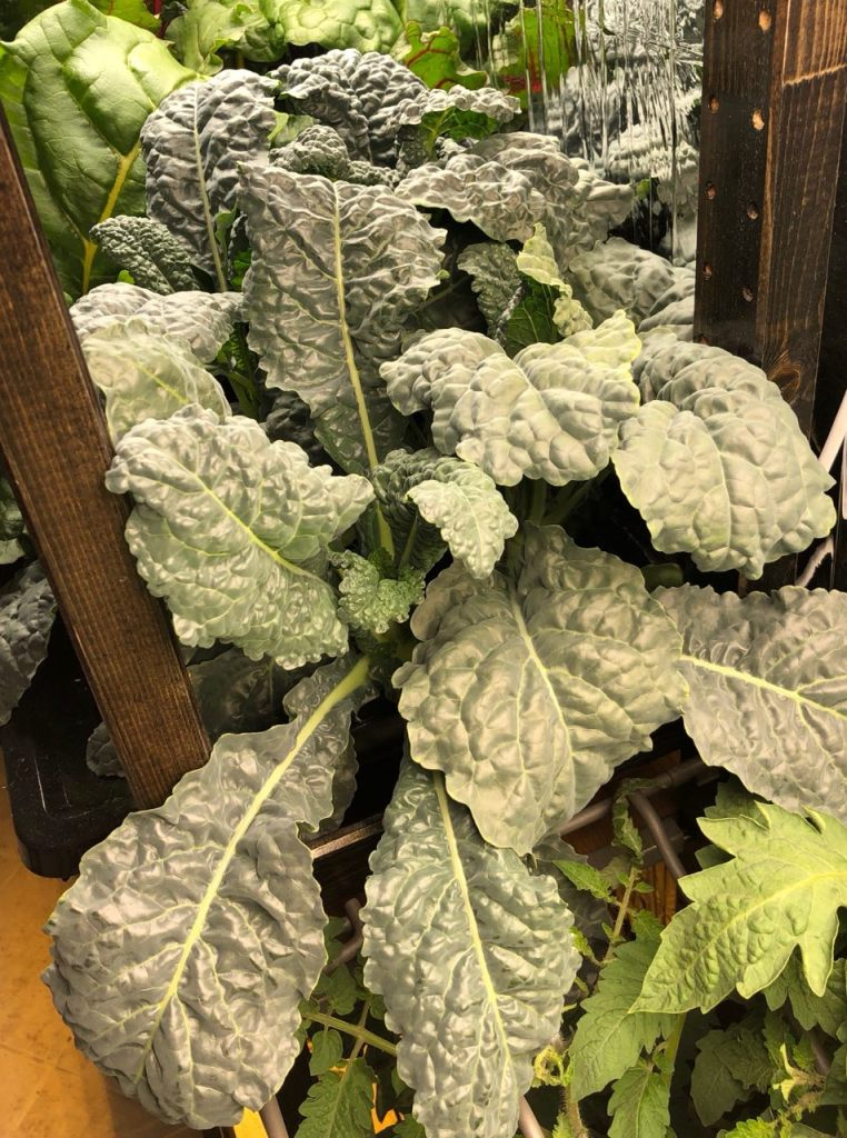Nero Toscana Kale Grown In Kratky Container, Week 4