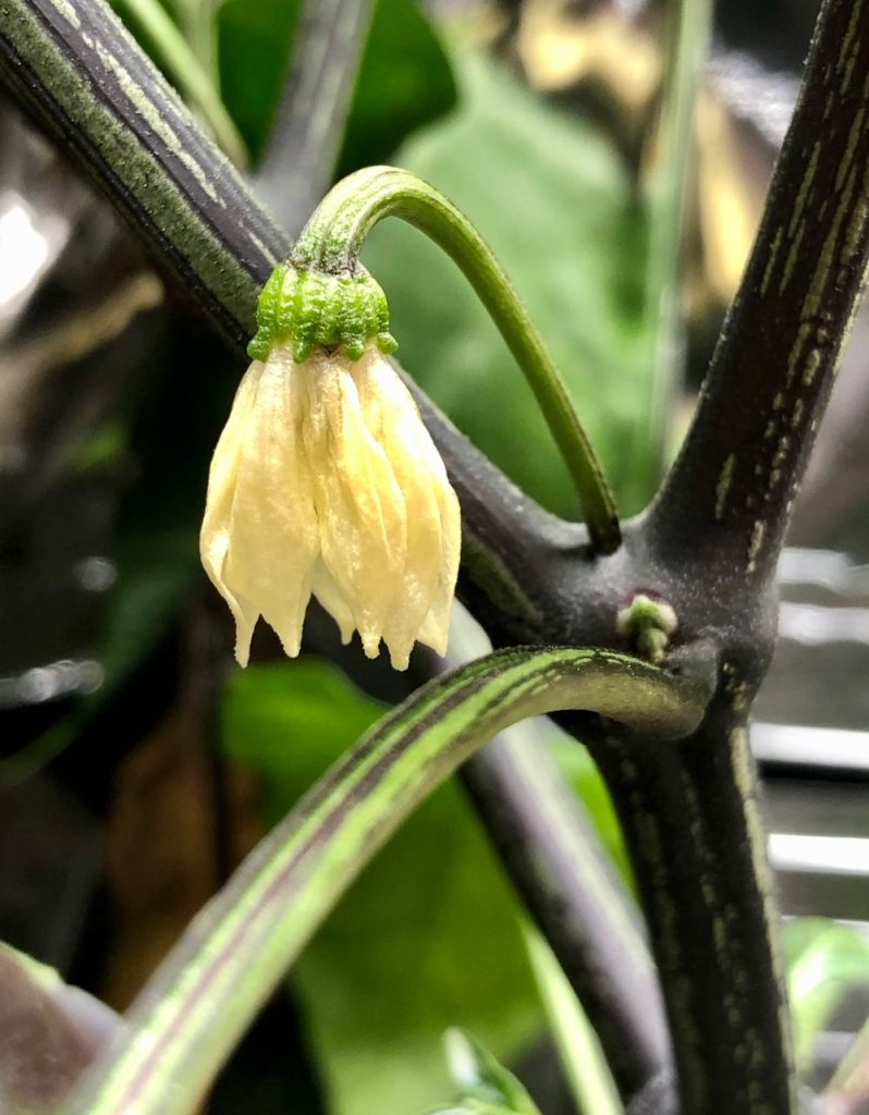Jalapeño Pepper Flower, Grown in Kratky Hydroponics, Week 7 Growht