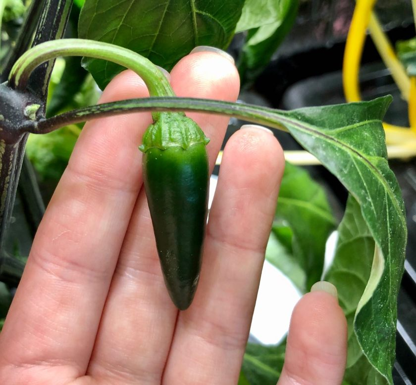 Jalapeño Pepper Fruit, Week 8 Growth in Kratky Hydroponics