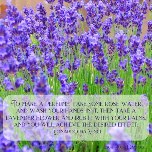 Image of lavender flowers with quote, To make a perfume, take some rose water and wash your hands in it, then take a lavender flower and rub it with your palms, and you will achieve the desired effect. by Leonardo da Vinci