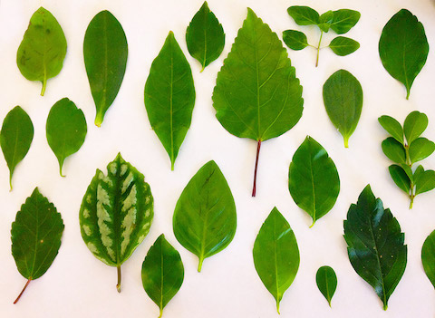 Displaying a variety of leafs