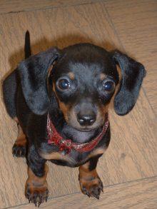 Baby Maya the mini dachshund