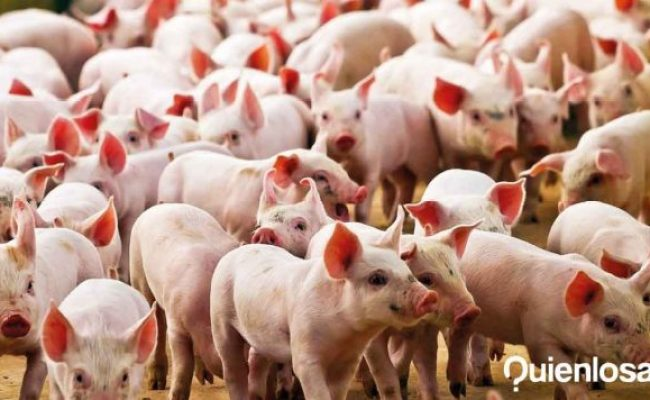 They Find A New Virus In China That Comes From Pigs Who