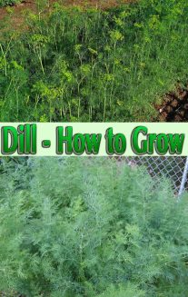 Dill - How to Grow