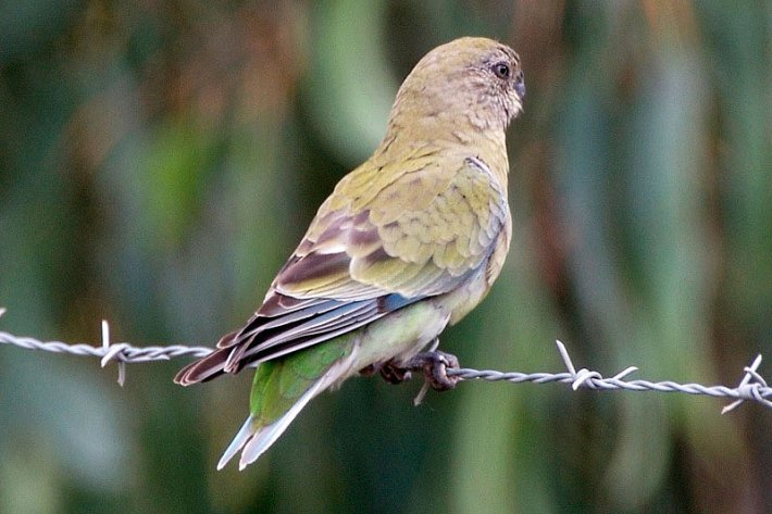 Red-Rumped-Parrot-6