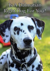 Is A Dalmatian Right Dog For You?