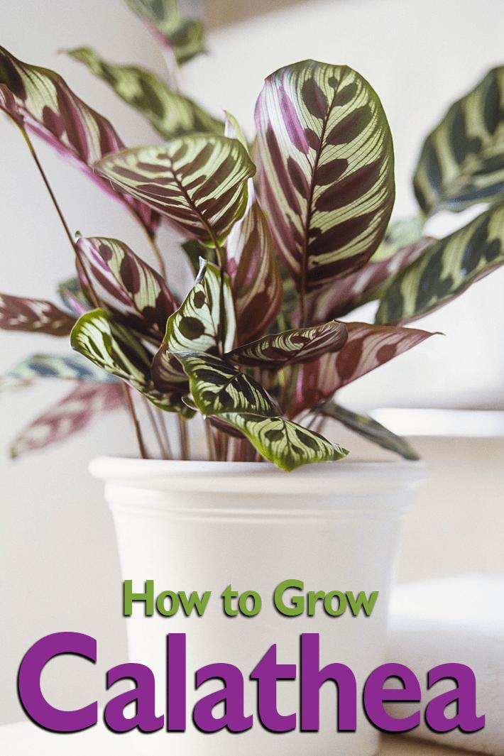 Calathea - How to Grow