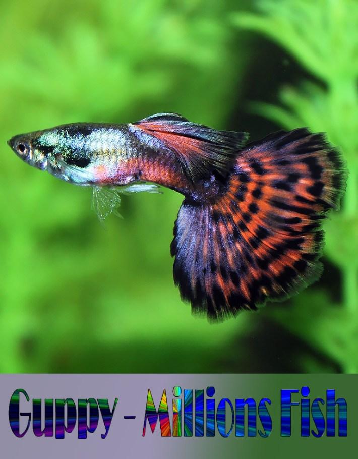 Guppy – Millions Fish