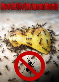How to Get Rid of Ants Invasion Naturally