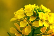 How to Grow Mustard Plants