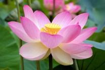 Lotus - Growing Guide