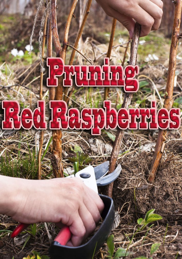 How To – Pruning Red Raspberries