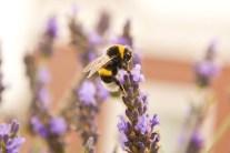 Bees and Garden Herbs
