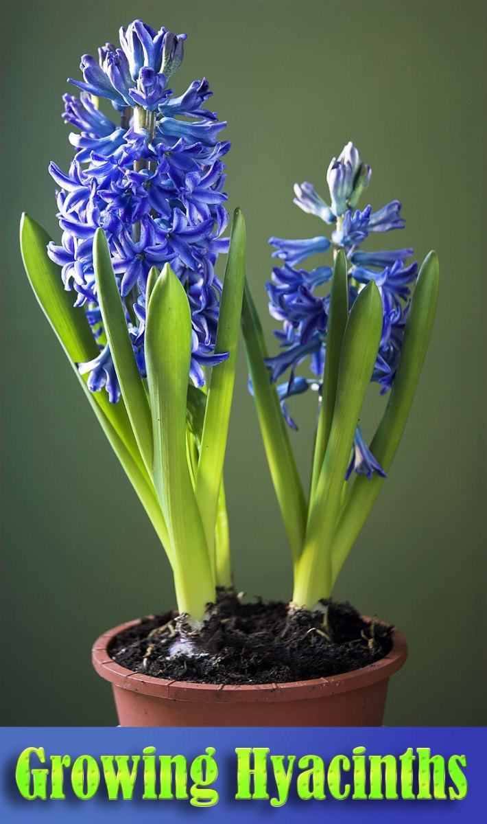 Hyacinth – Growing Guide