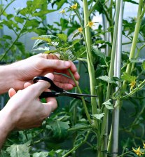 Growing Tomatoes – Removing Bottom Leaves?