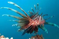 Lionfish invading, colonizing Mediterranean Sea