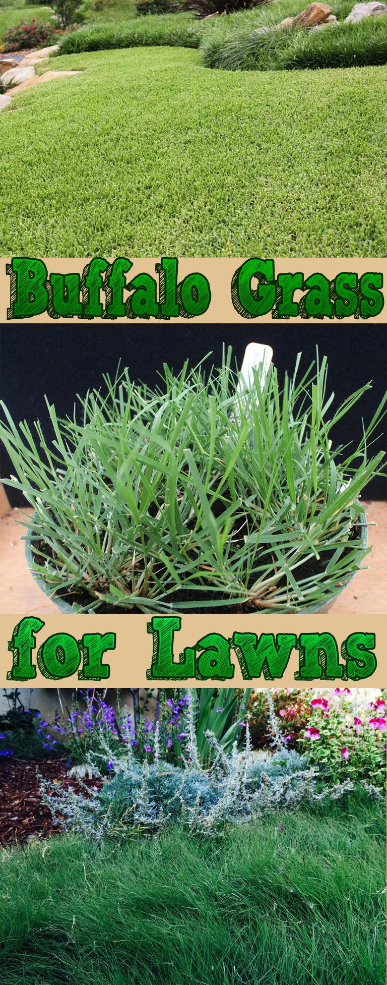 Buffalo Grass for Lawns - Quiet Corner