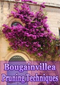 Bougainvillea Pruning Techniques