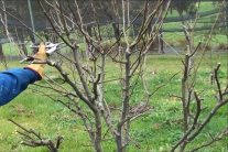 Pear Tree Pruning