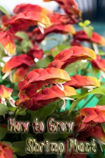 How to Grow and Care for Shrimp Plant