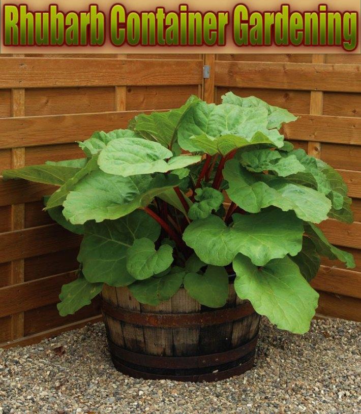 Quiet Corner Container Gardening Ideas: Quiet Corner:Rhubarb Container Gardening