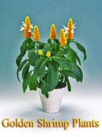 Growing Golden Shrimp Plants Indoors