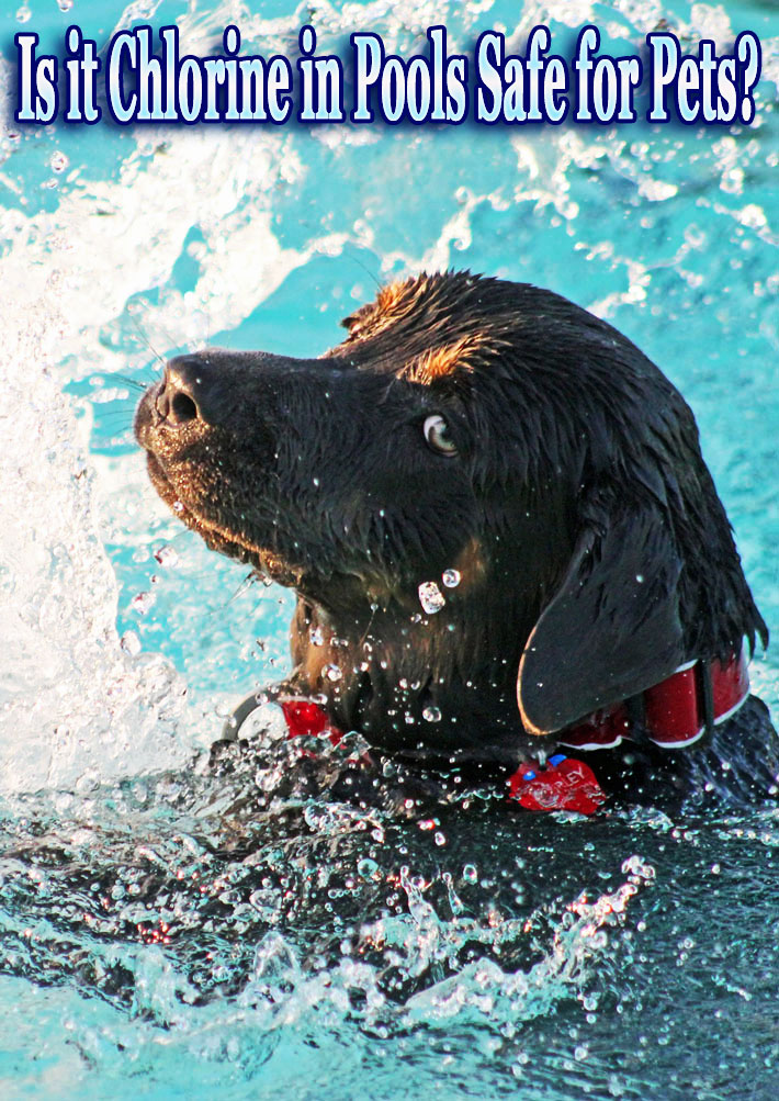 Is it Chlorine in Pools Safe for Pets?