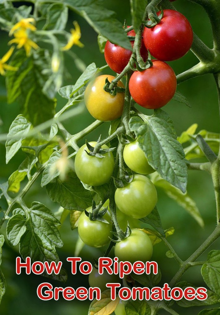 How To Ripen Green Tomatoes Indoors