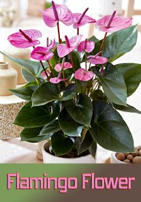 Flamingo Flower - Info, Care and More
