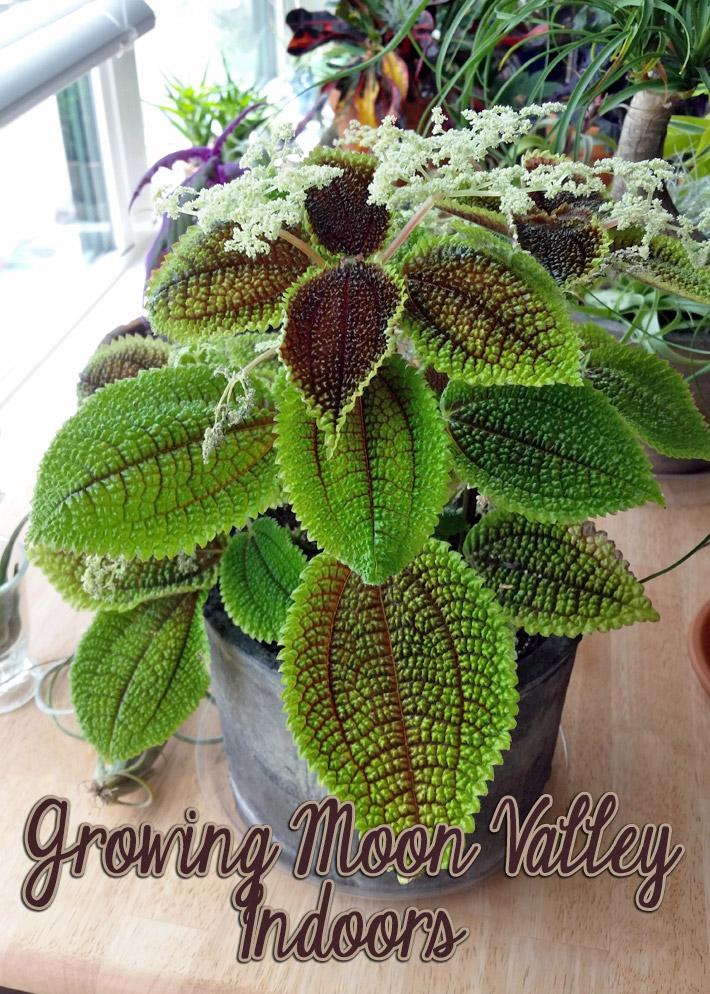 Easy Houseplants: Growing Moon Valley Indoors