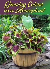Growing Coleus as a Houseplant