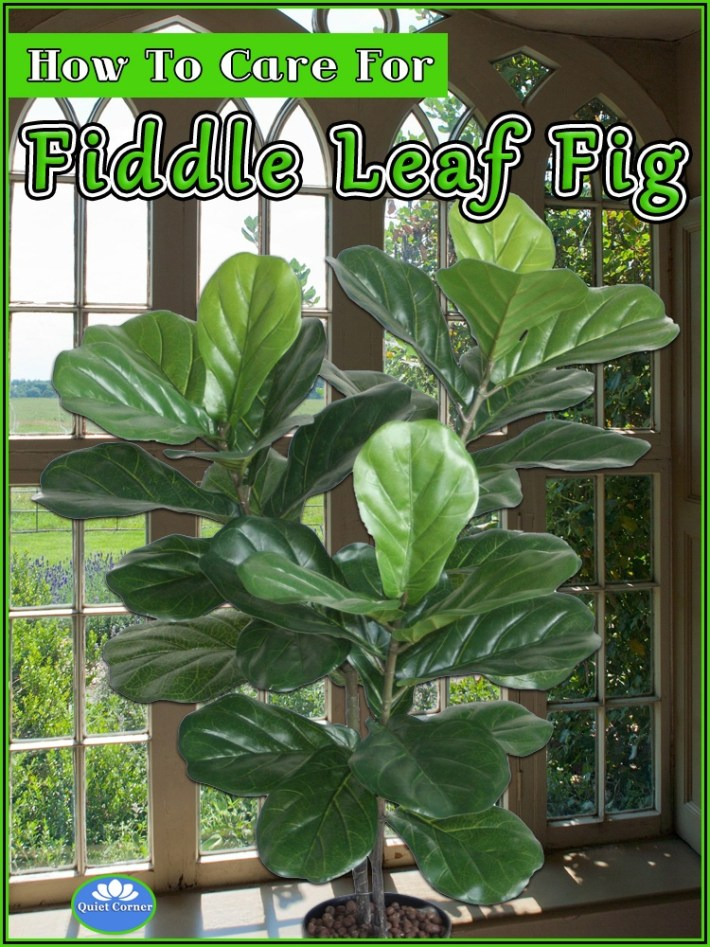 How To Care For Fiddle Leaf Fig