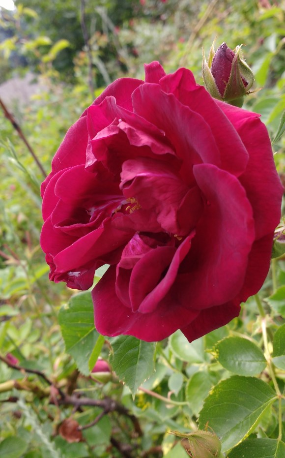 And to cap it off, a real rose, just for Beauty.