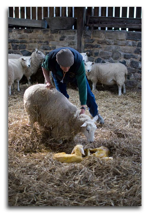 Lambing At Hurries Farm In The Yorkshire Dales