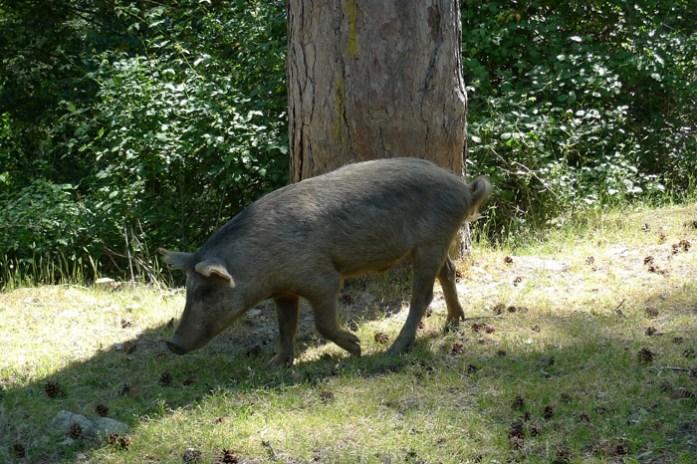 pigs Pela estrada D84 na Forêt D'Aitone. Córsega
