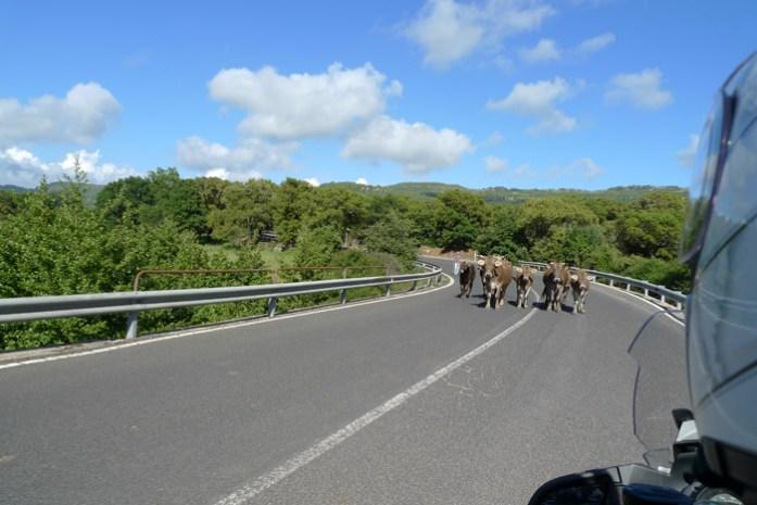 sardenha de mota animais a solta nas estradas