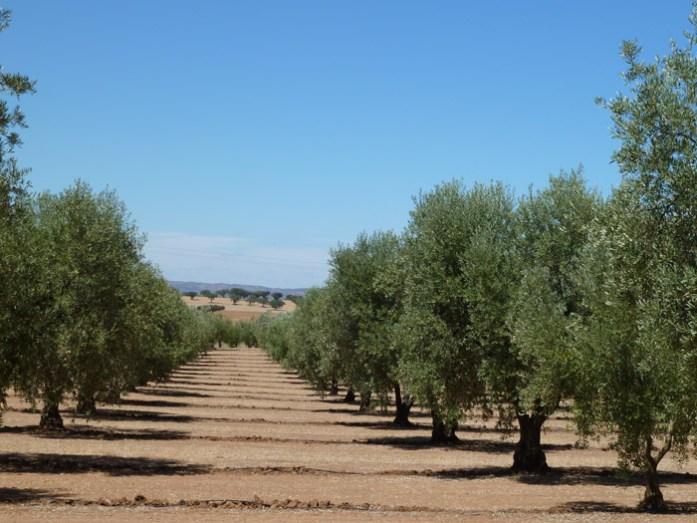 Pelo Alentejo por entre os olivais.