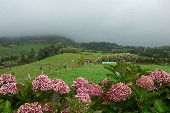 Campos de Hortênsias. São Miguel, Açores