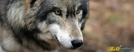 Uma tarde de primavera em Mafra com o lobo ibérico