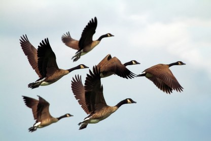 geese-1990202_960_720