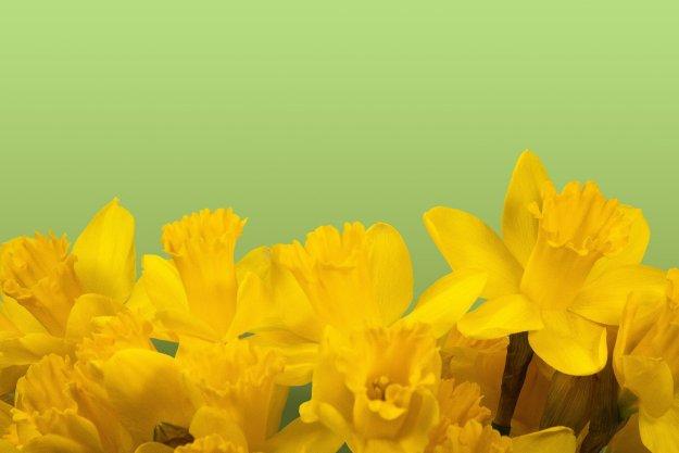 daffodil-1160904_1920